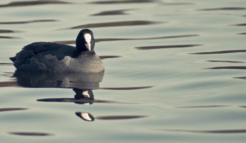 Focha común en el agua