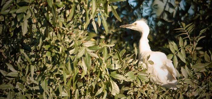 Pollo de garcilla bueyera