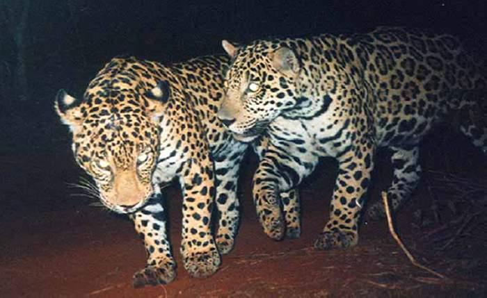 Dos jaguares