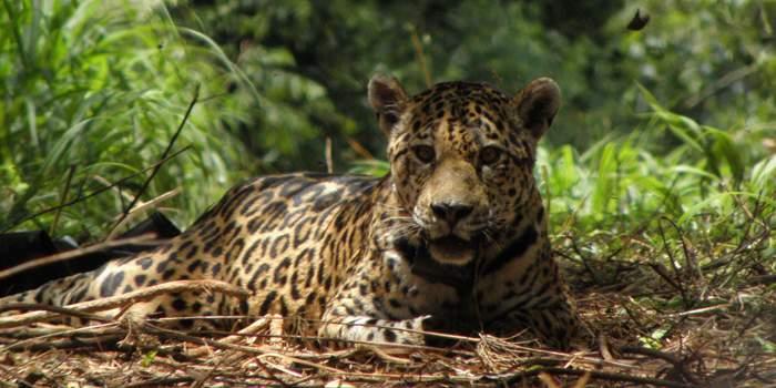 Jaguar tumbado