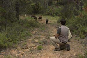 Estudiando los bisontes (Bison bonasus)