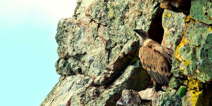 Buitre leonado en el Parque Nacional de Monfragüe